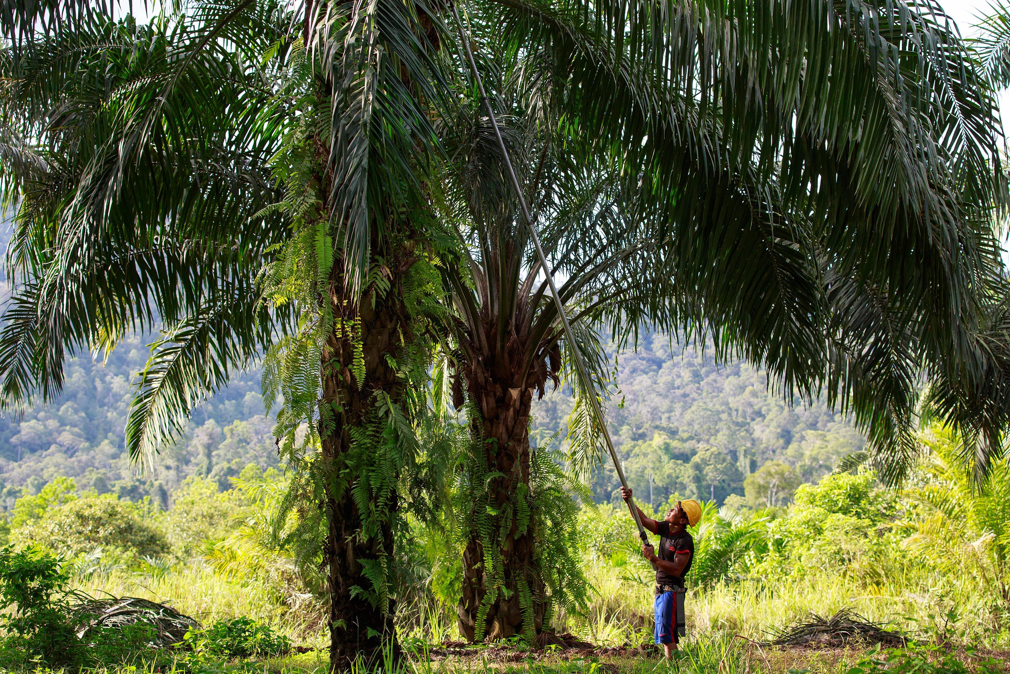 Porque se utiliza tanto el aceite de palma