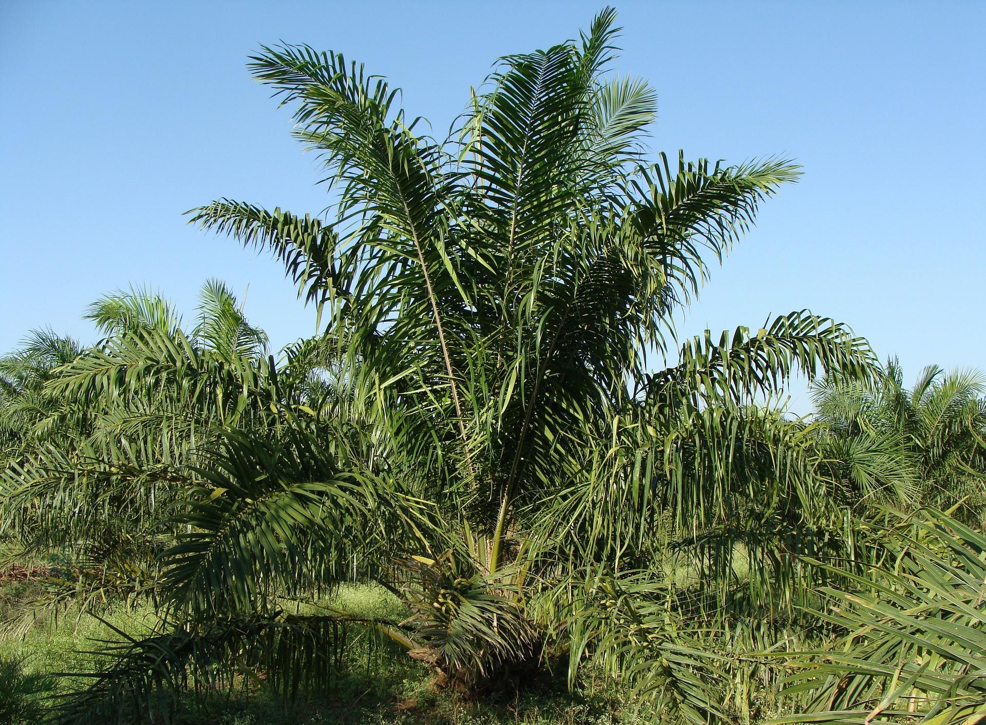 Palma selva